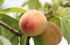 Photo of fresh peaches on a tree