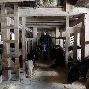 Sam in the stable with her cows